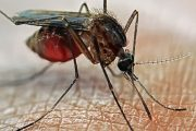 Natural Mosquito Repellent keeps mosquitoes at bay