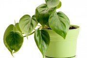 Houseplant Philodendron