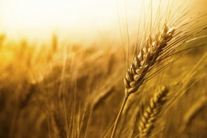 Stalk of wheat which contains lectins