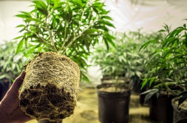 Marijuana cannabis plant roots showing as being transplanted
