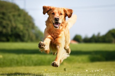 Golden retriever dog running outdoors