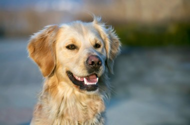 Happy golden retriever thats had pet tooth care