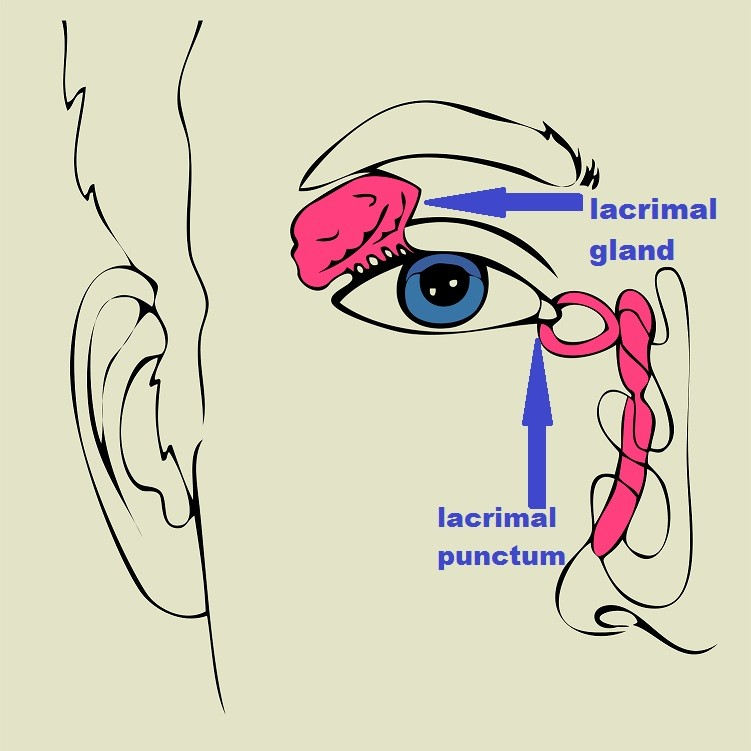 lacrimal gland and lacrimal punctum in human eye