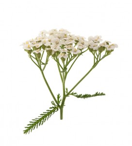 Mosquito repelling white yarrow plant