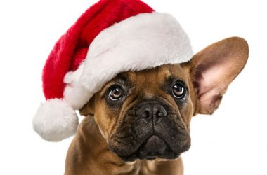 Adorable French bulldog in a santa hat wants you to keep your pets safe