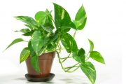 a pot of pothos a houseplant which improves indoor air quality
