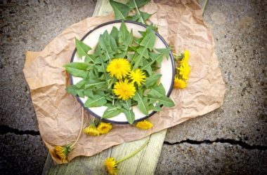 A plant of dandelion greens ready to eat for spring cleaning detox