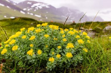 Rhodiola rosea stress and burnout busting plant growing in mountains