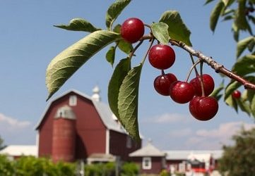 Montmorency cherries which fight metabolic syndrome & memory loss
