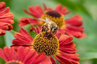 Honey bee on flower preparing to produce cancer fighting propolis
