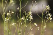 Potential breast cancer treatment Arabidopsis thaliana a common weed growing in a field