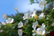 Bacopa monnieri an adaptogenic herb helps fight stress and cognitive decline
